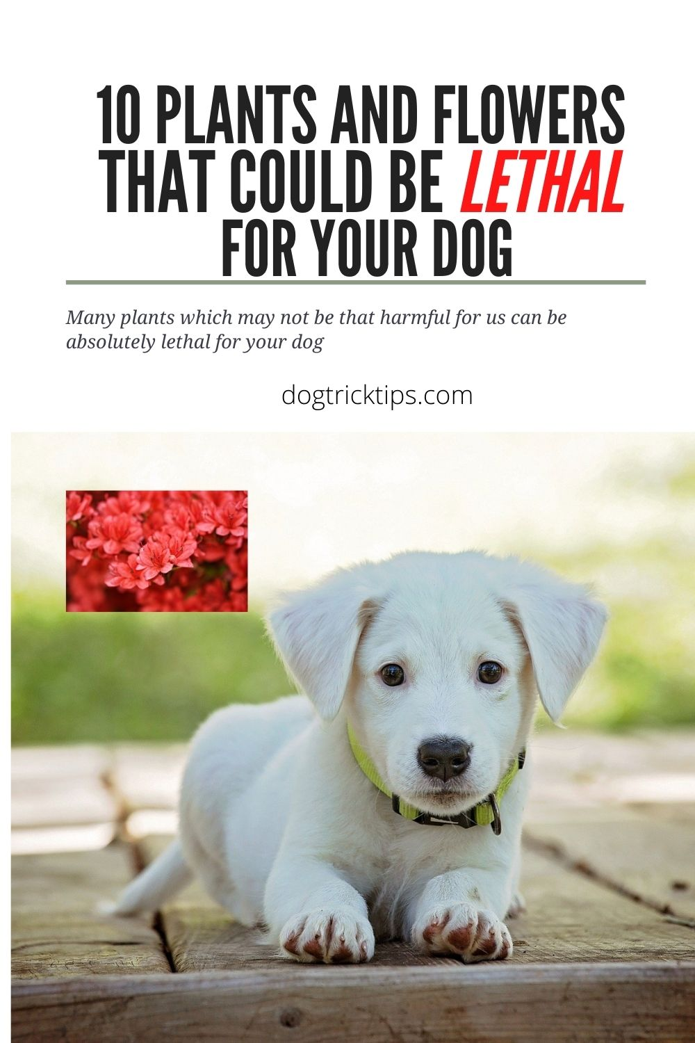 10 Plants and Flowers that could be Lethal for your Dog